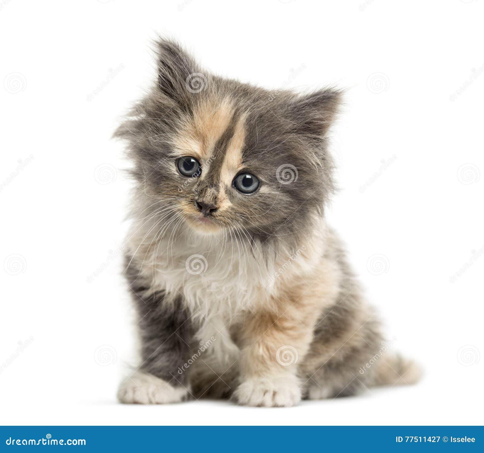 Europaisch Kurzhaar Katzcheneinmonatiges Baby Lokalisiert Auf Weiss Stockbild Bild Von Sitzung Schnitt 77511427