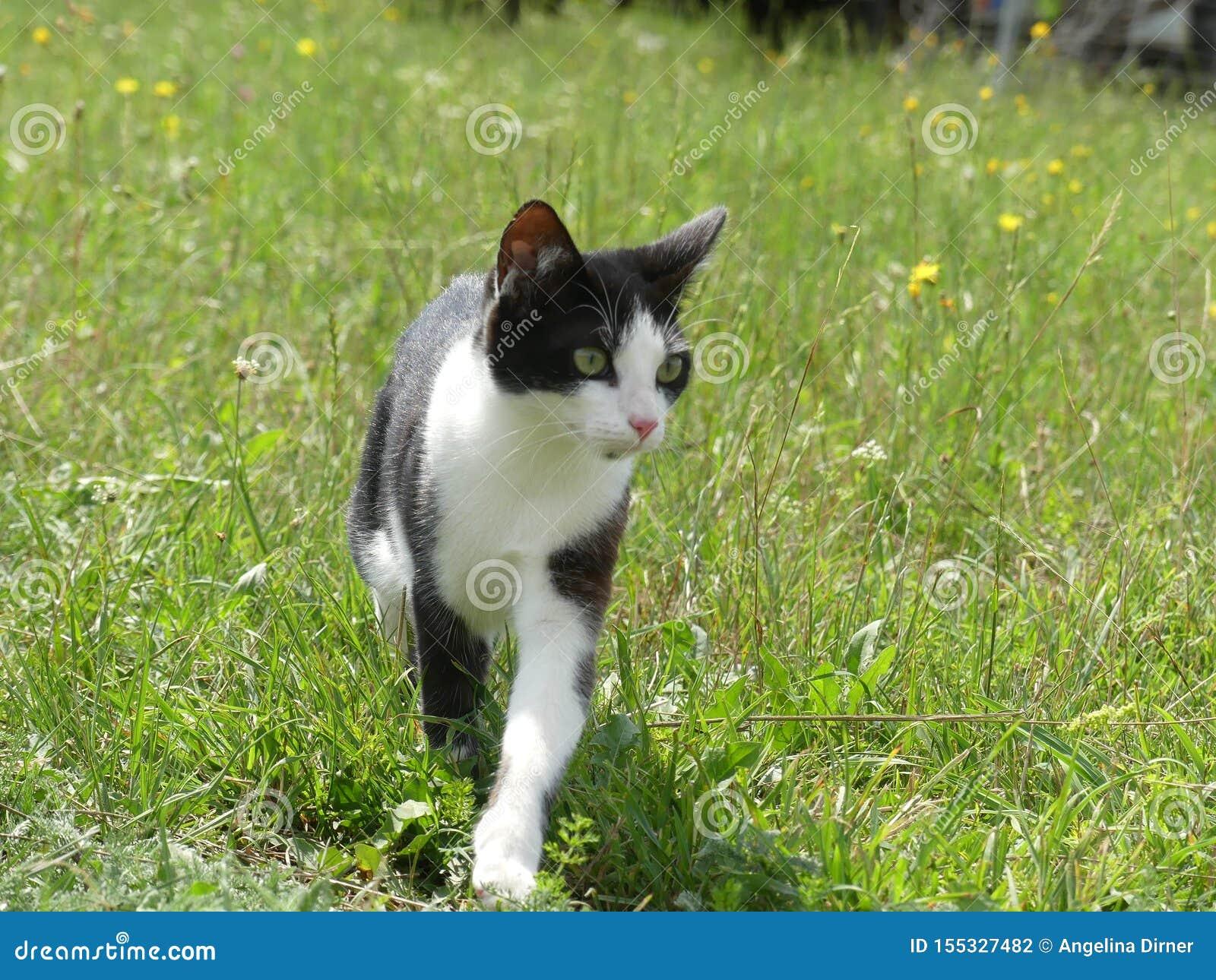 Europaisch Kurzhaar Katze Schwarzweiss In Der Natur Stockfoto Bild Von Katze Nave 155327482