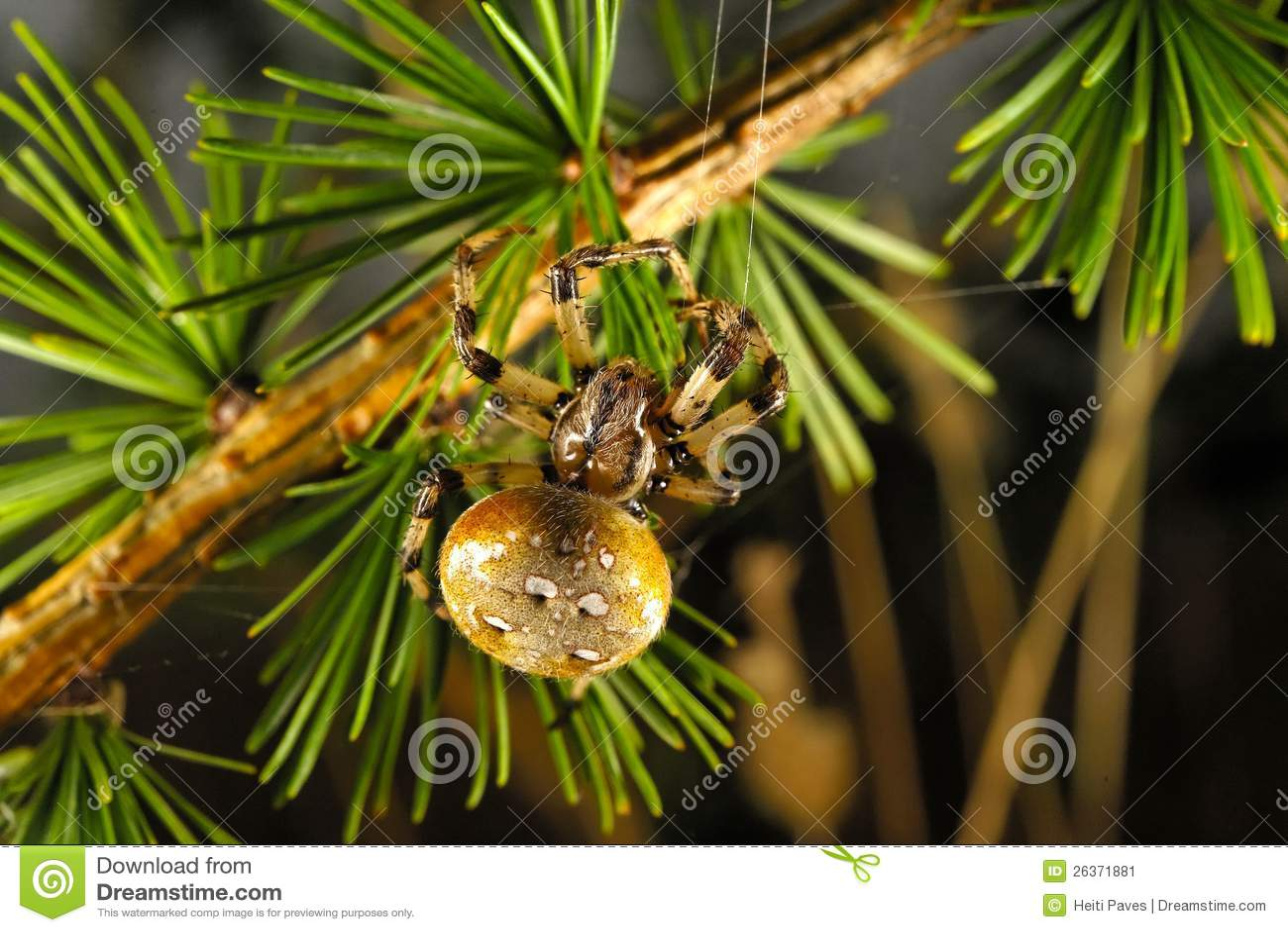 Europäische Gartenspinne