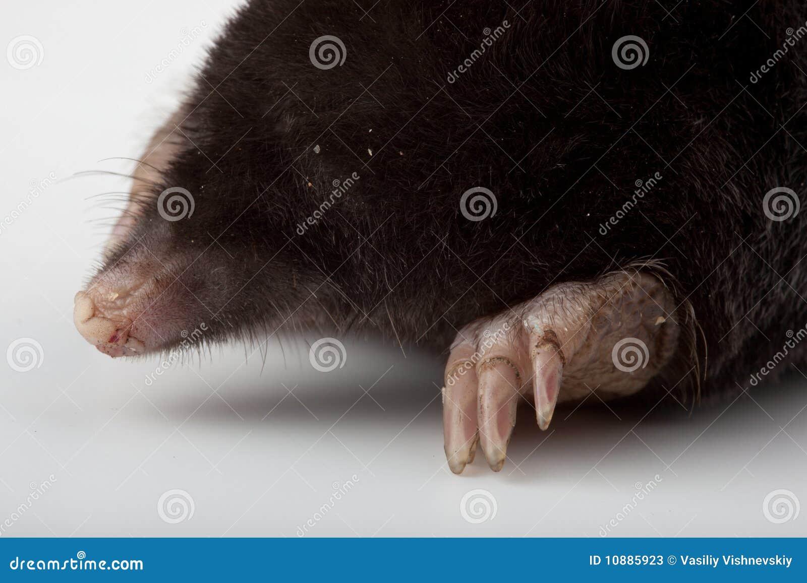 Europäische Mole (Talpa europaea)