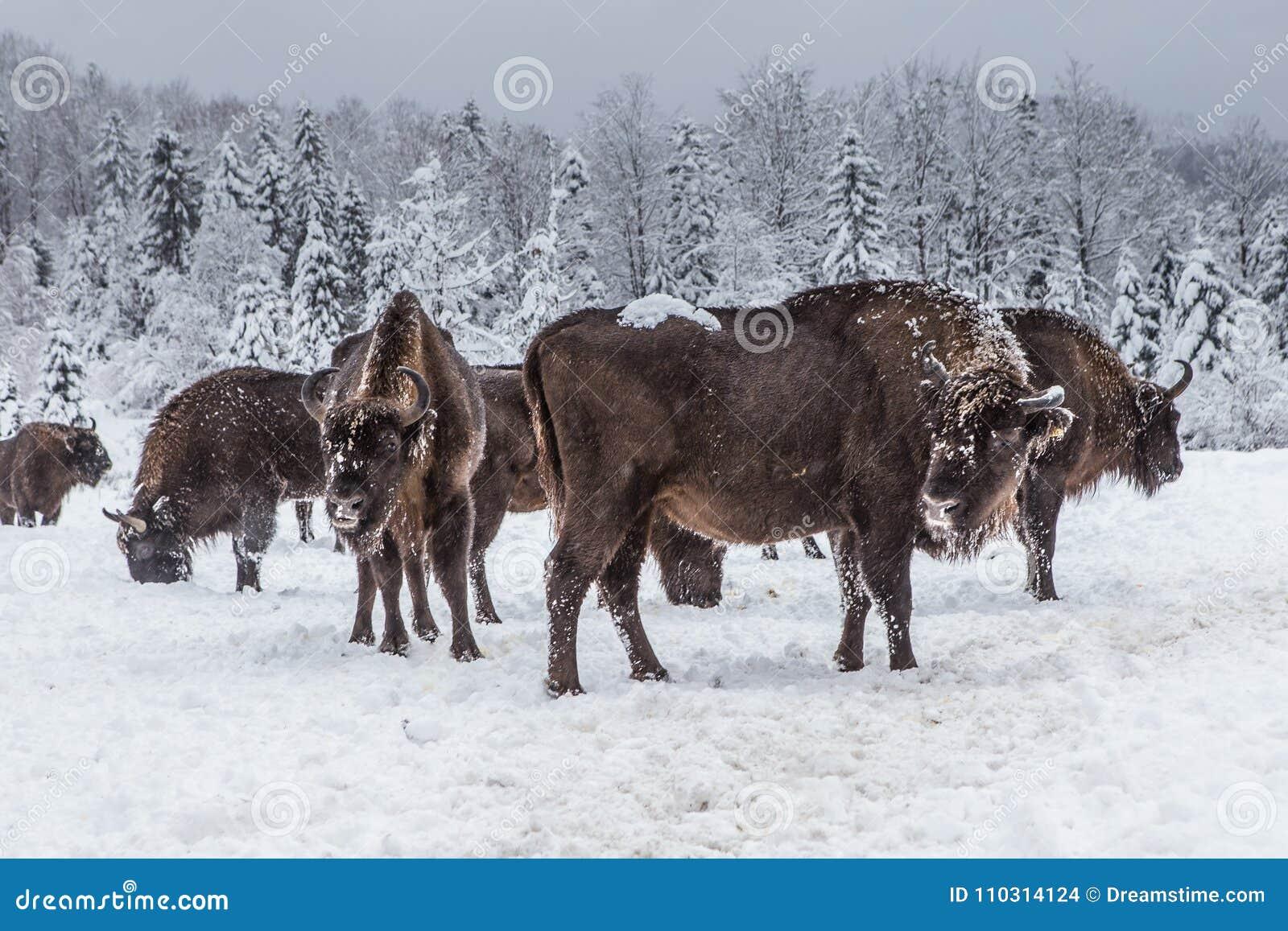 Europäisches Programm für die Wiederherstellung der europäischen Bisonbevölkerung, Karpaty-Reserve, Ukraine