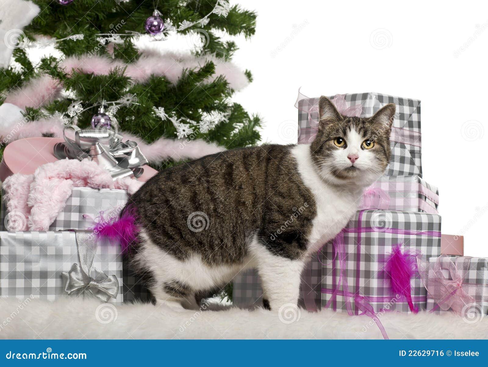 Europäisches Shorthair, 3 Jahre Alt, Mit Weihnachten Stockfoto ...