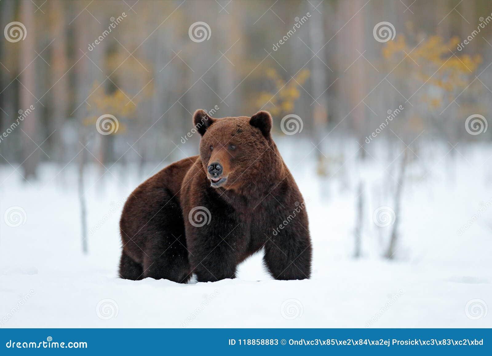 Europe zima Piękny brown ssaka odprowadzenie wokoło jeziora z śniegiem i lodem Niebezpieczna istota w natury drewnie, łąkowy sied