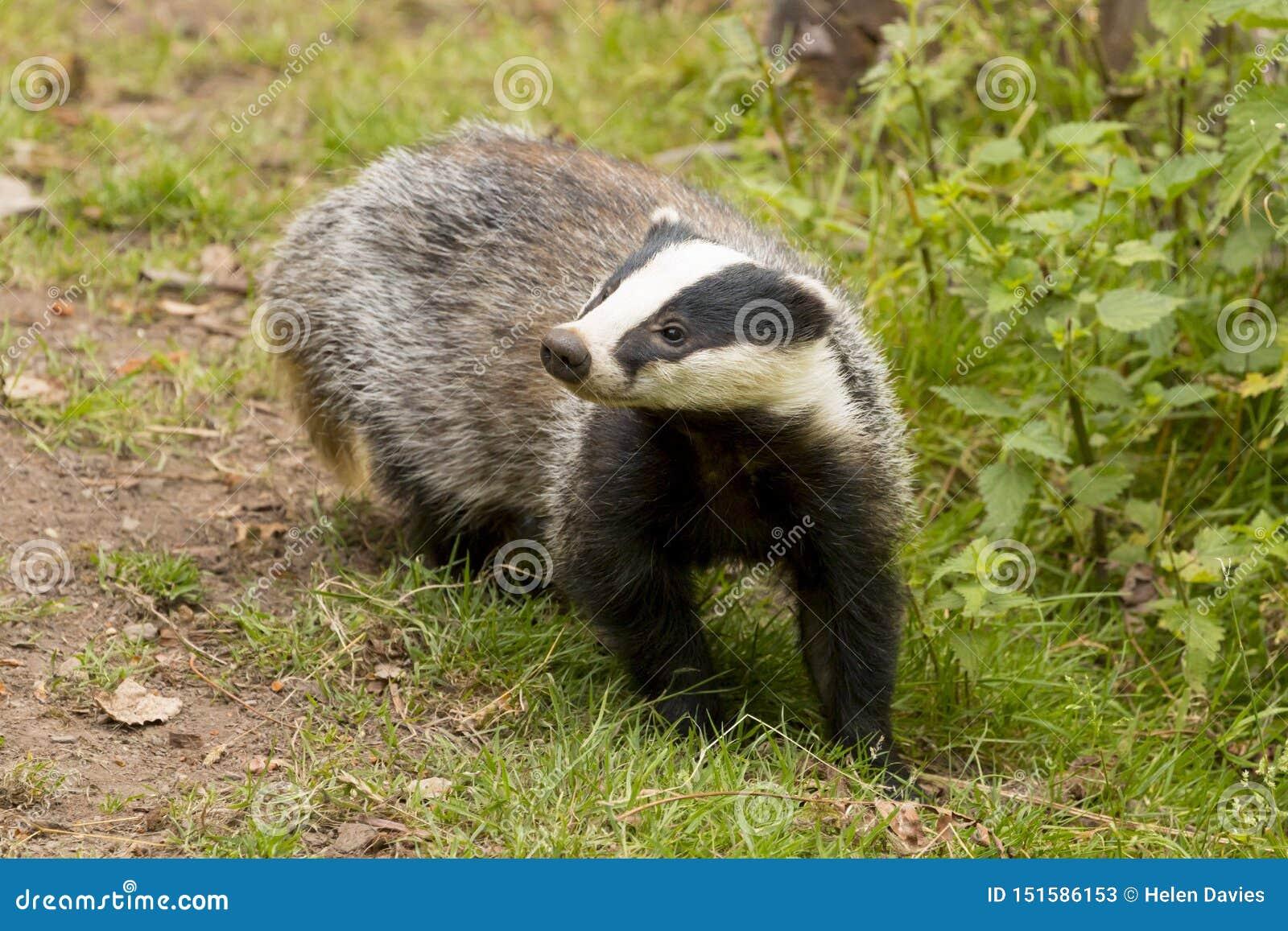 European Badger Meles meles adult