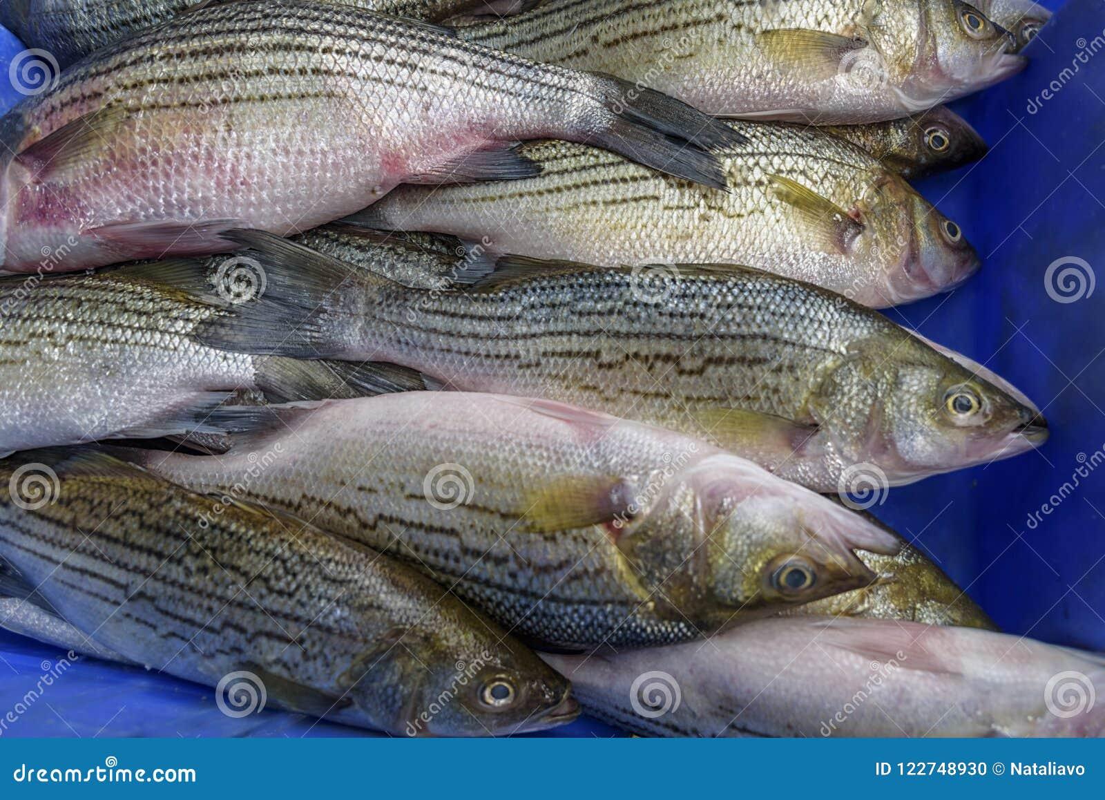 European bass, sea bass is a ocean-going fish. Fresh seafood
