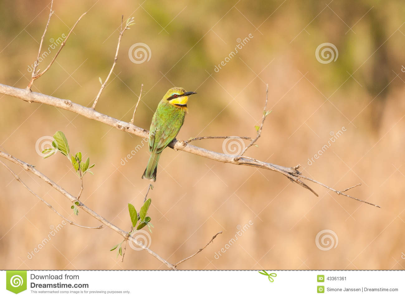 European Bee Eater Merops Apiaster In Natural Habitat
