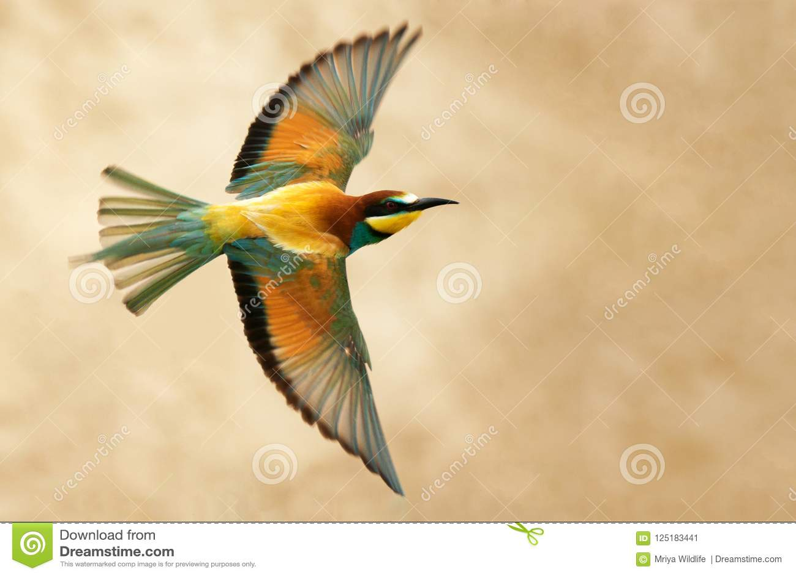 European bee-eater in flight on a beautiful background