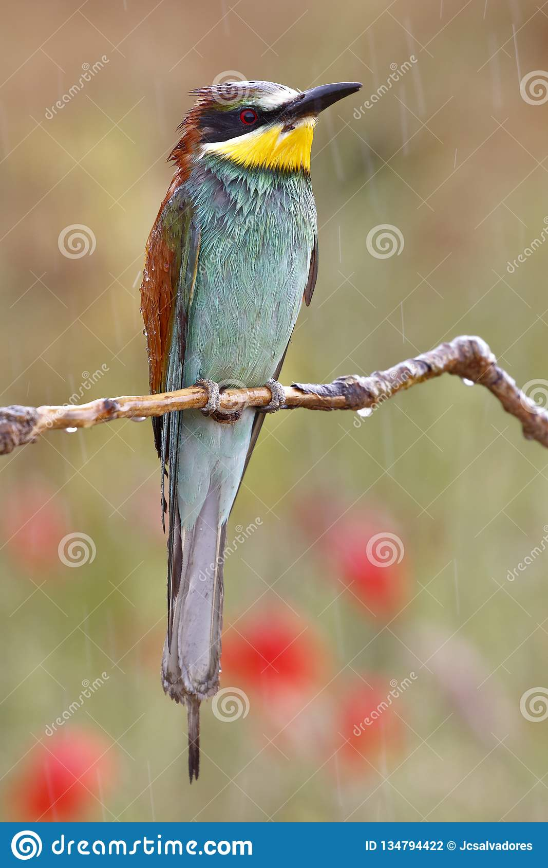 European bee-eater, Merops apiaster, beautiful colored bird