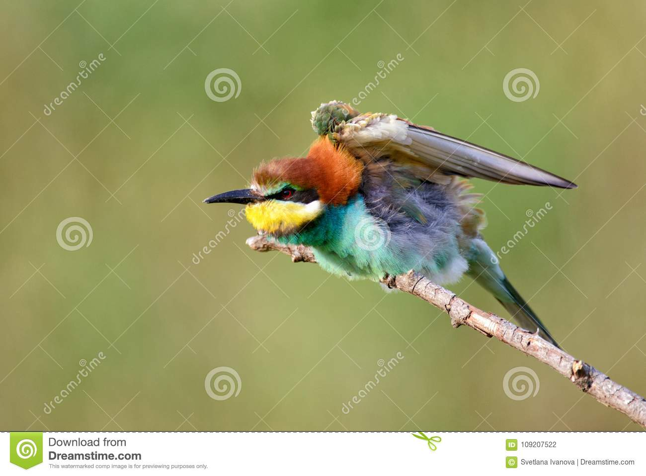 European bee eaters Merops apiaster sitting on a stick with open wings