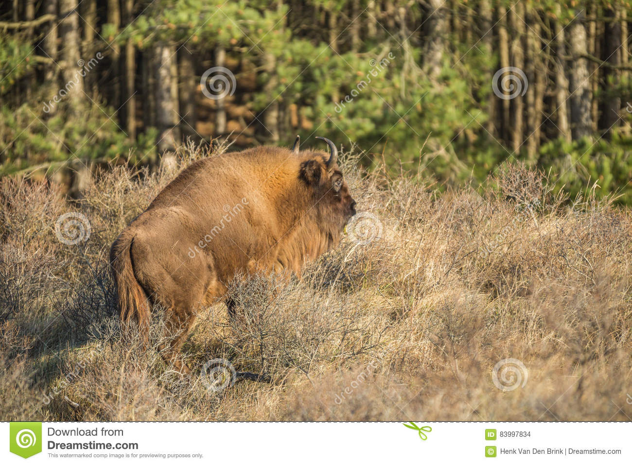European Bison Wisent Stock Photo