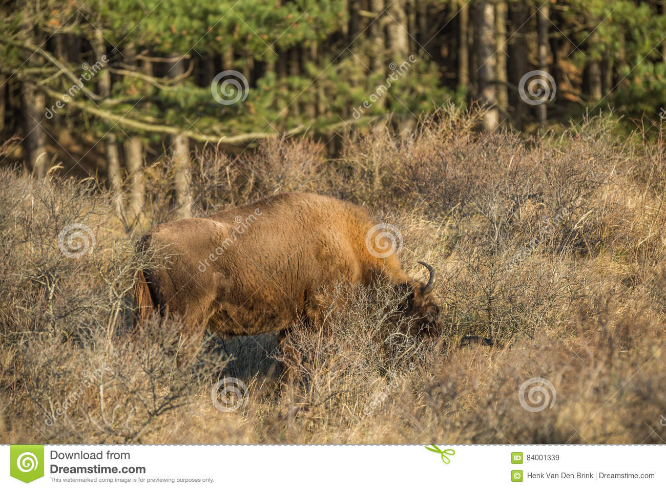 European Bison Wisent Stock Image Image Of Close
