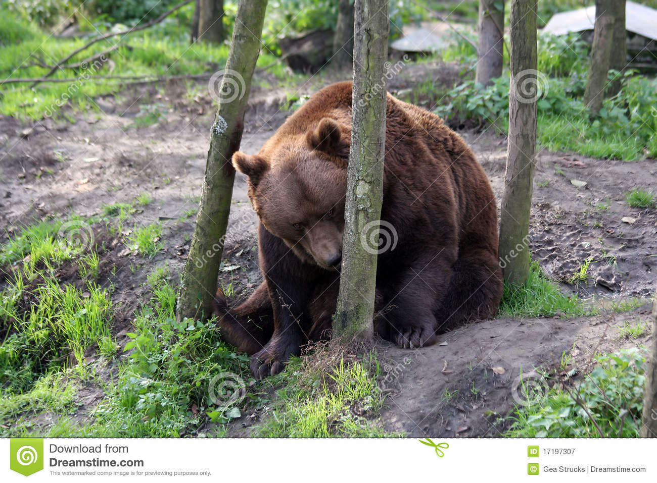 Brown Bear Watching The