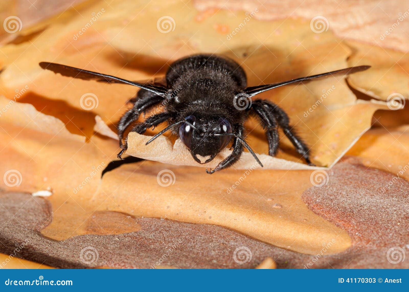 European carpenter bee en face on bark rind
