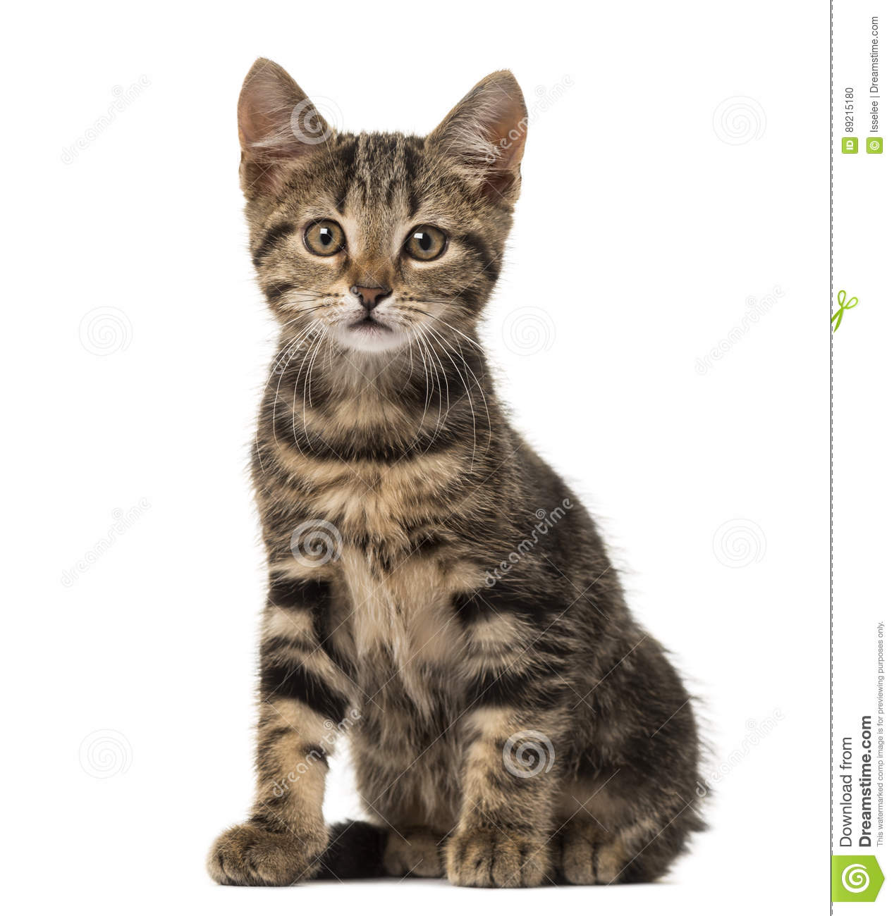 Download European Cat Sitting , Isolated Stock Photo - Image of feline, looking: 89215180