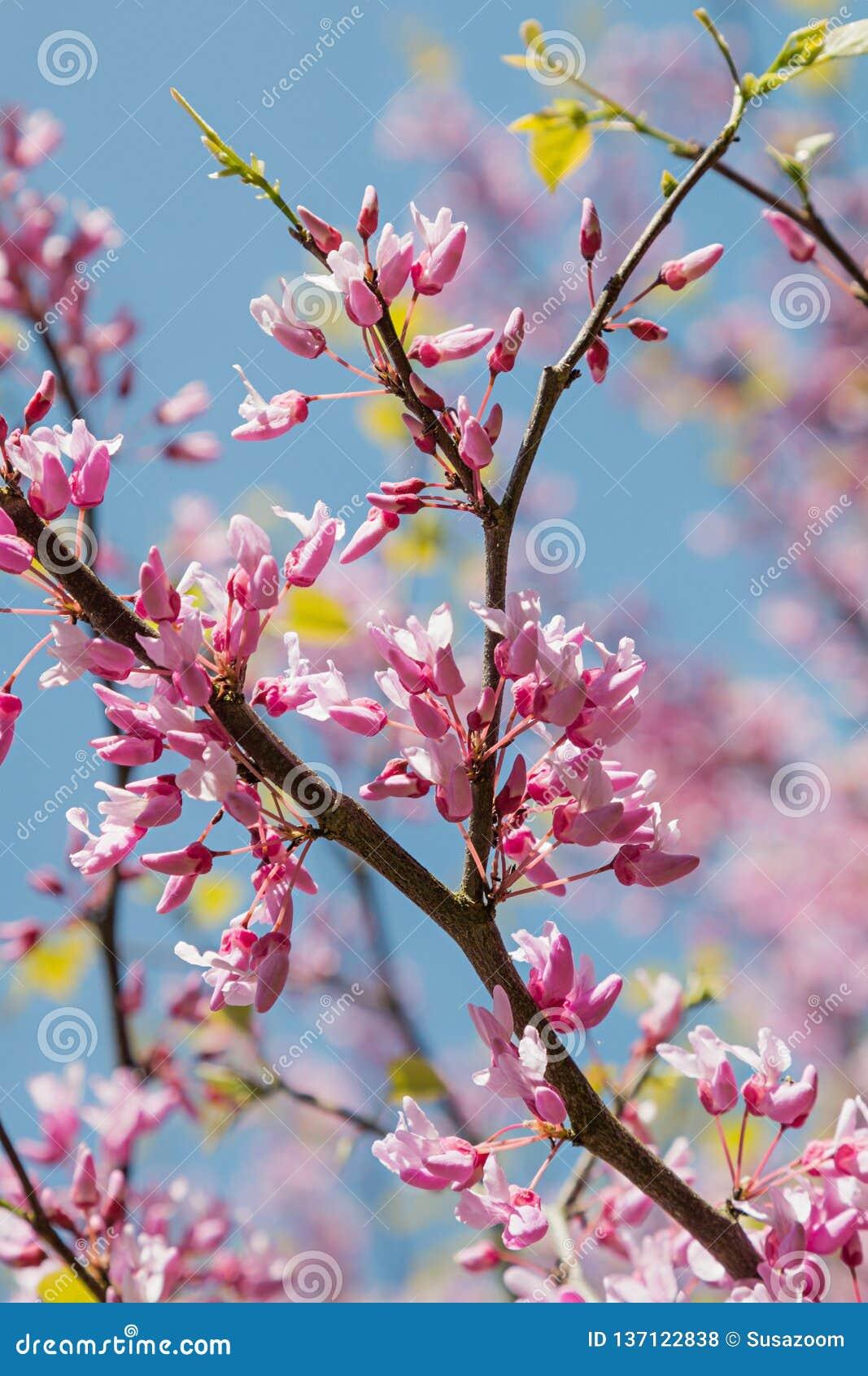 European cercis tree royalty free stock photos
