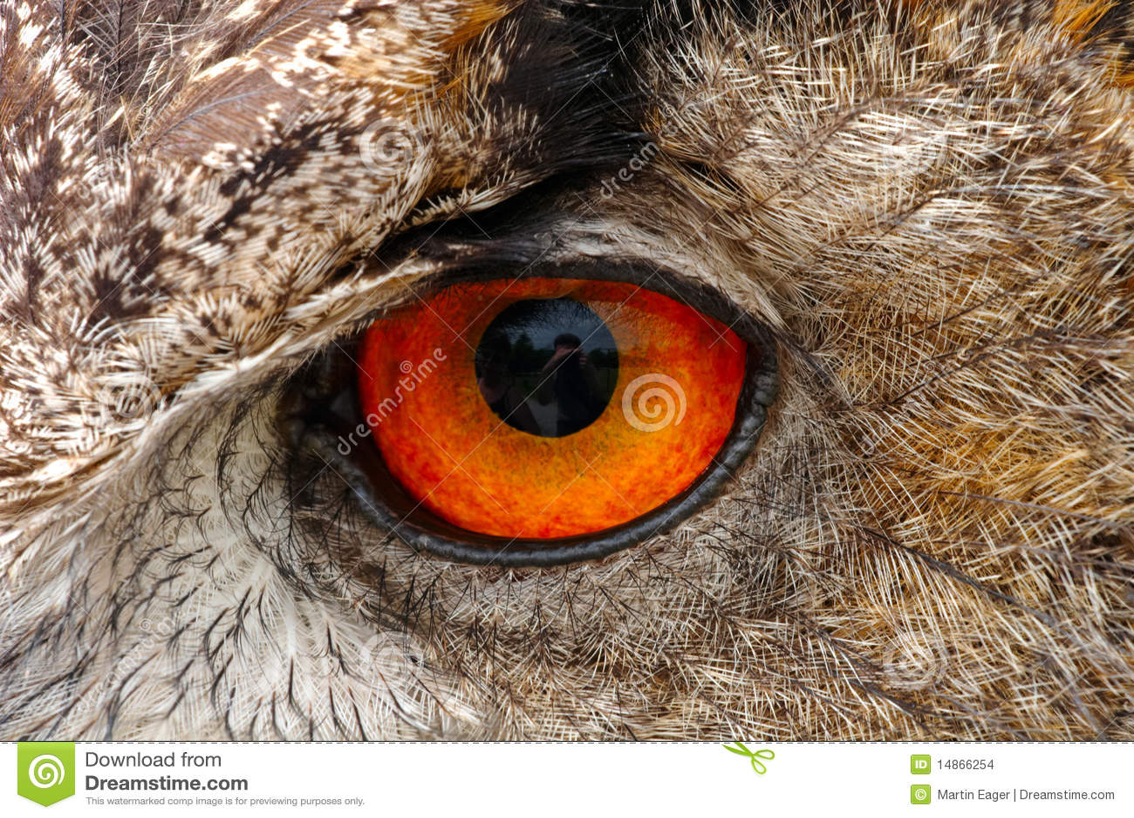European Eagle Owl Eye Closeup