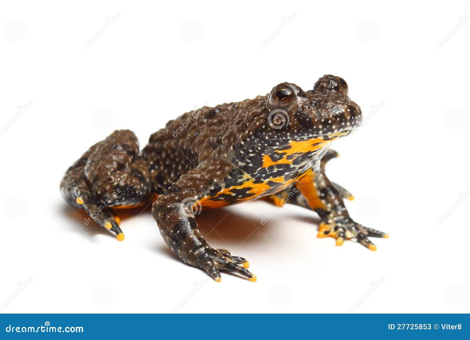 European Fire Bellied Toad Bombina Bombina Stock Image Image Of Amphibian Animal 27725853