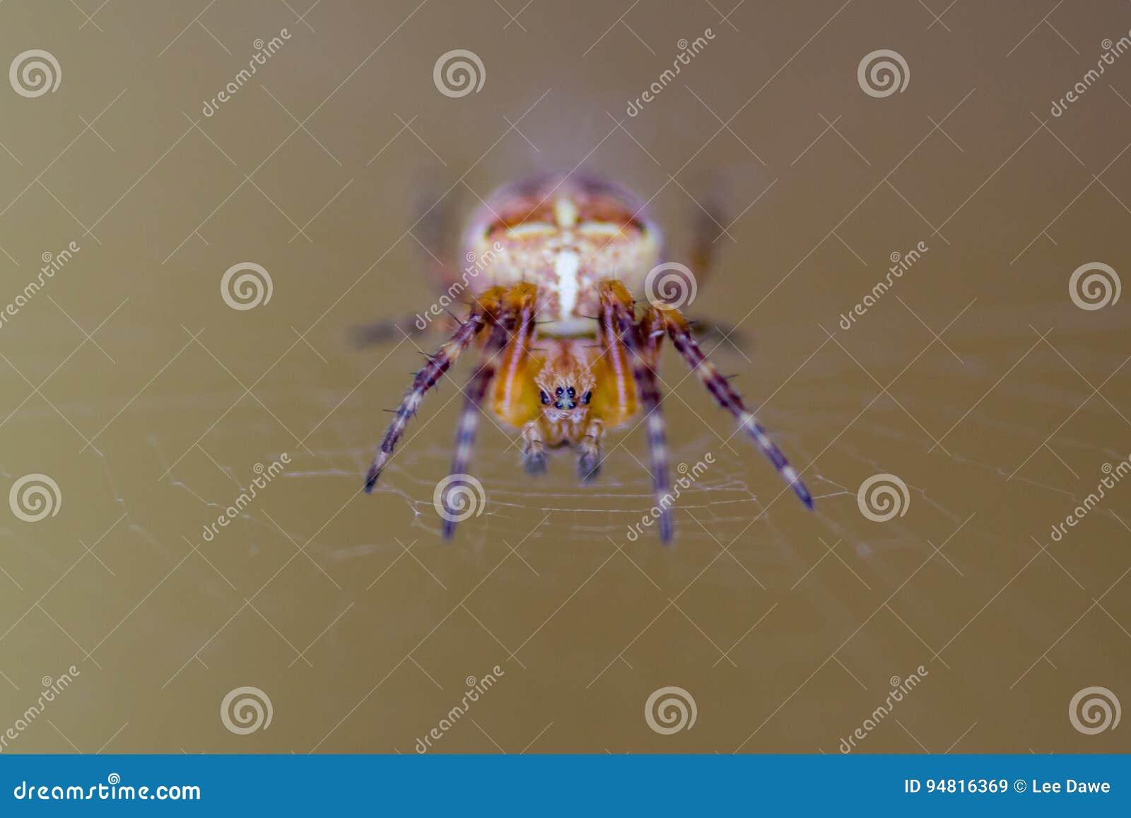 European Garden Spider Or Cross Orb-Weaver Stock Image - Image of ...