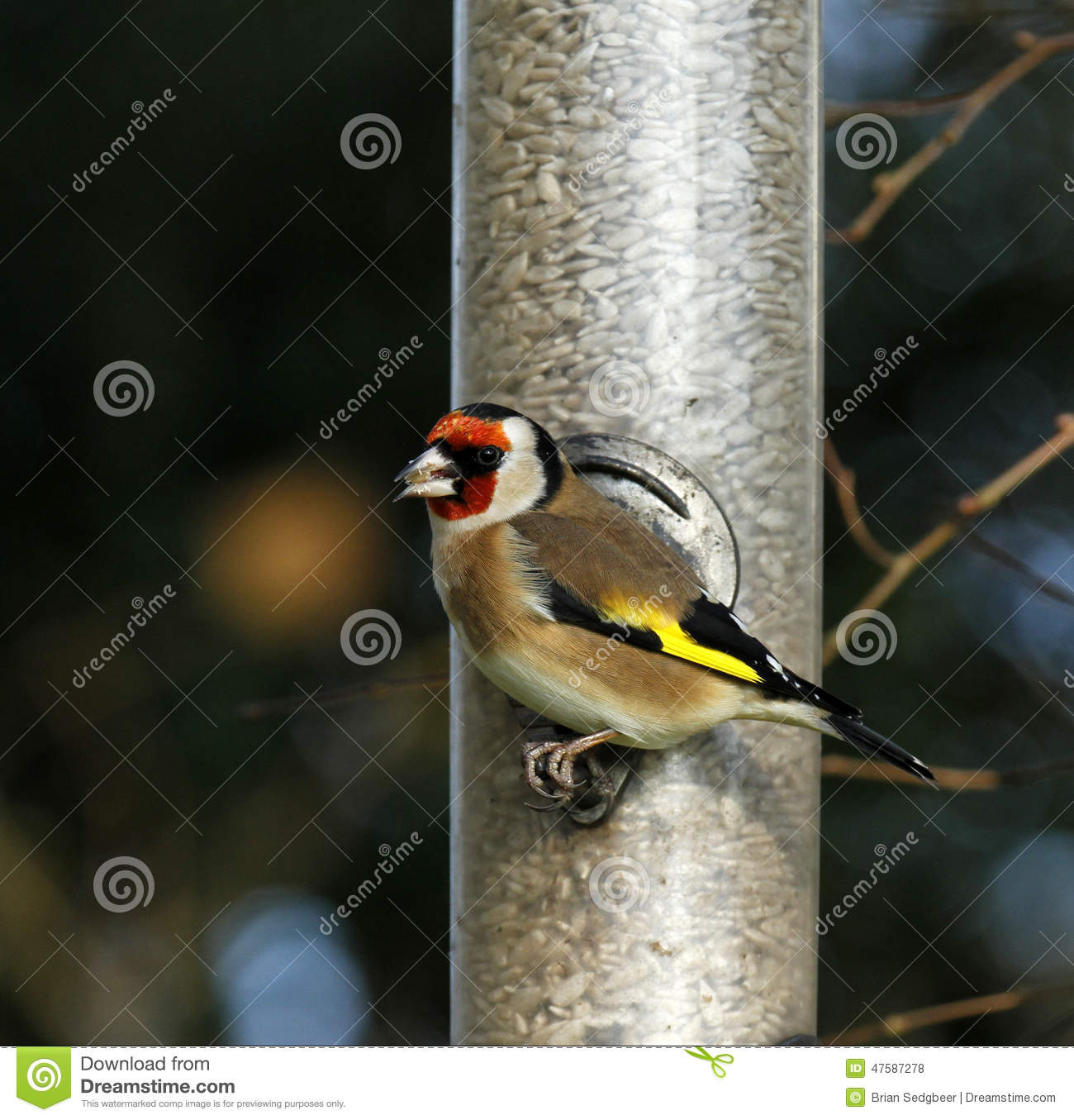 Gold Finch Perched With A Beak Full Of Sunflower Seeds