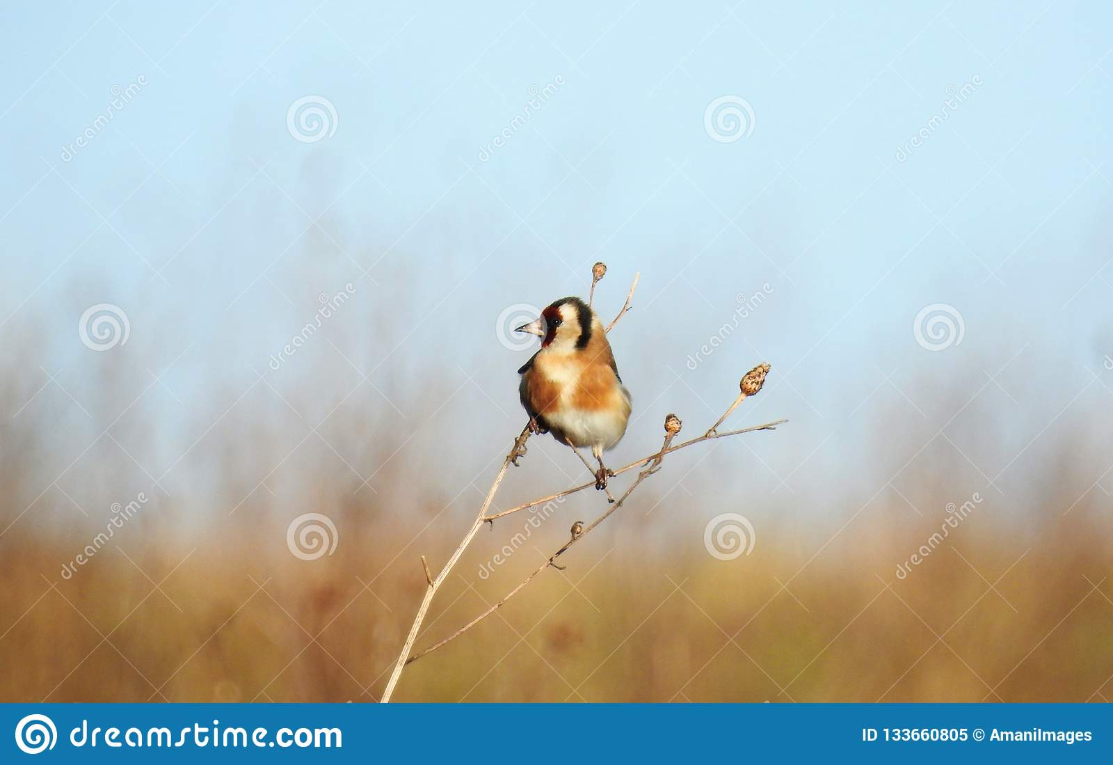 A European Goldfinch bird Carduelis carduelis