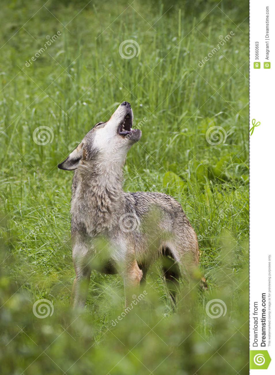 European gray wolf howling