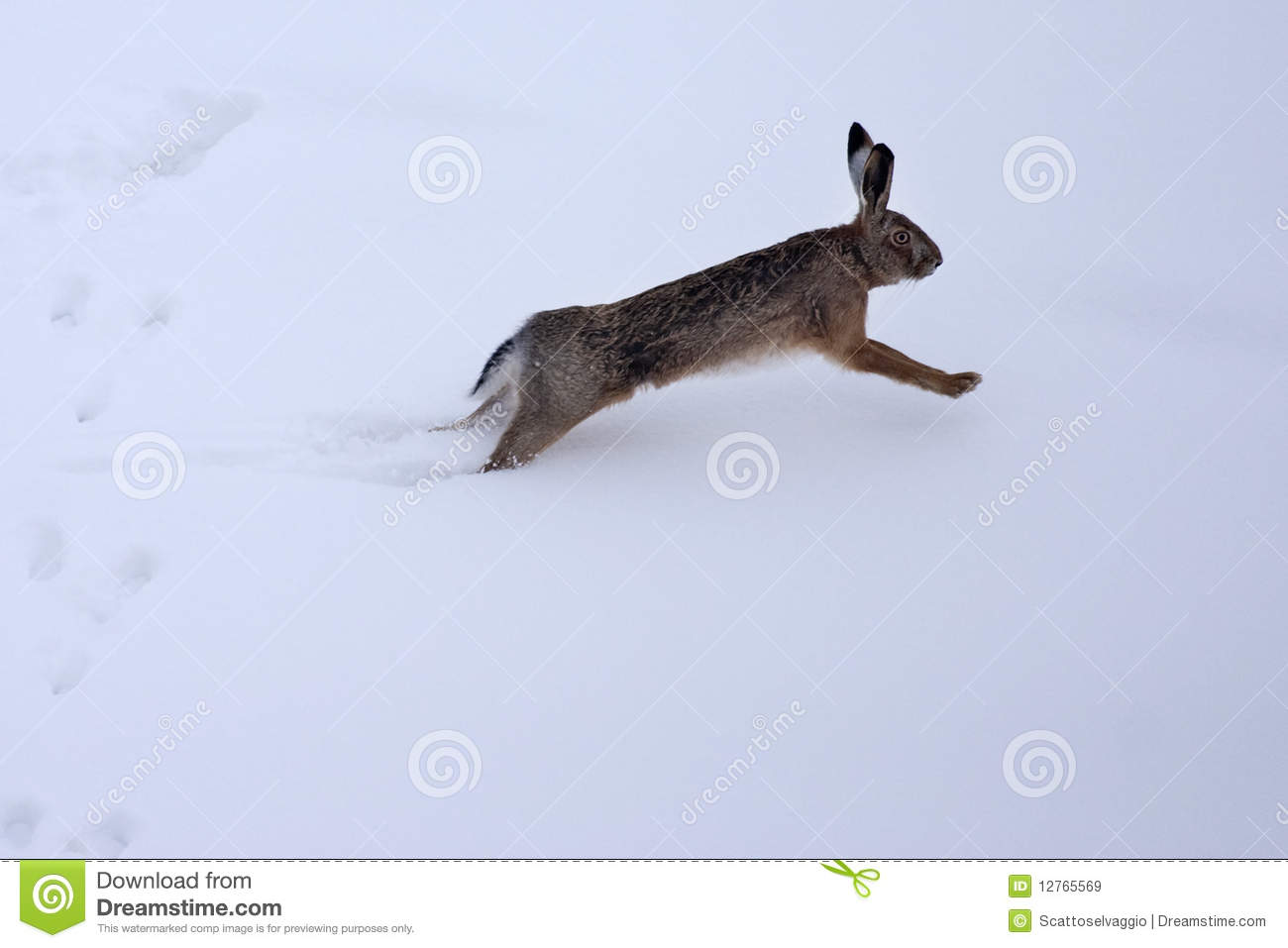 European hare (Lepus europaeus) in the snow. European or brown hare (lepus europaeus) running in the snow and leaving footprints.