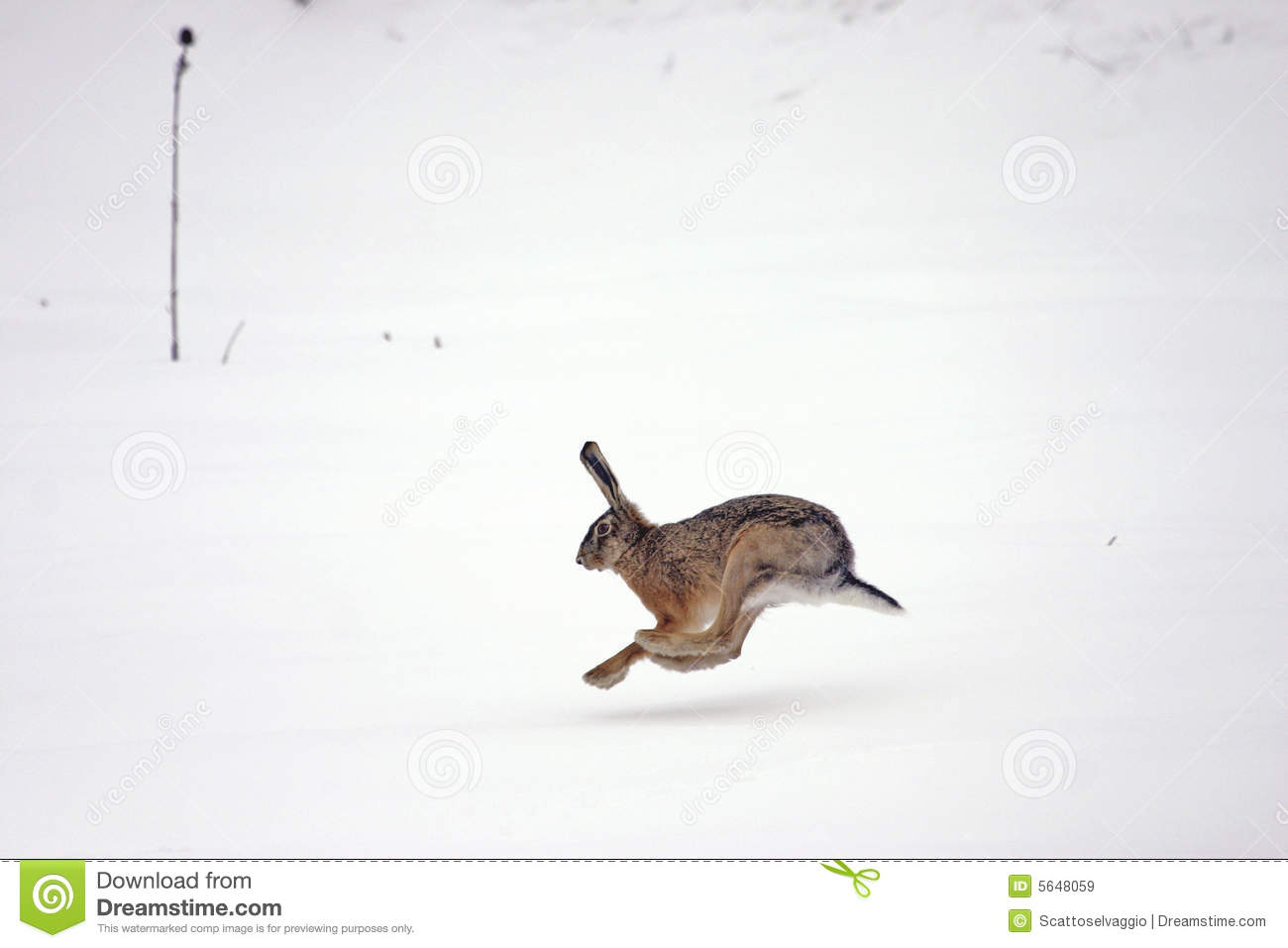 European or brown hare (lepus europaeus) running in the snow.