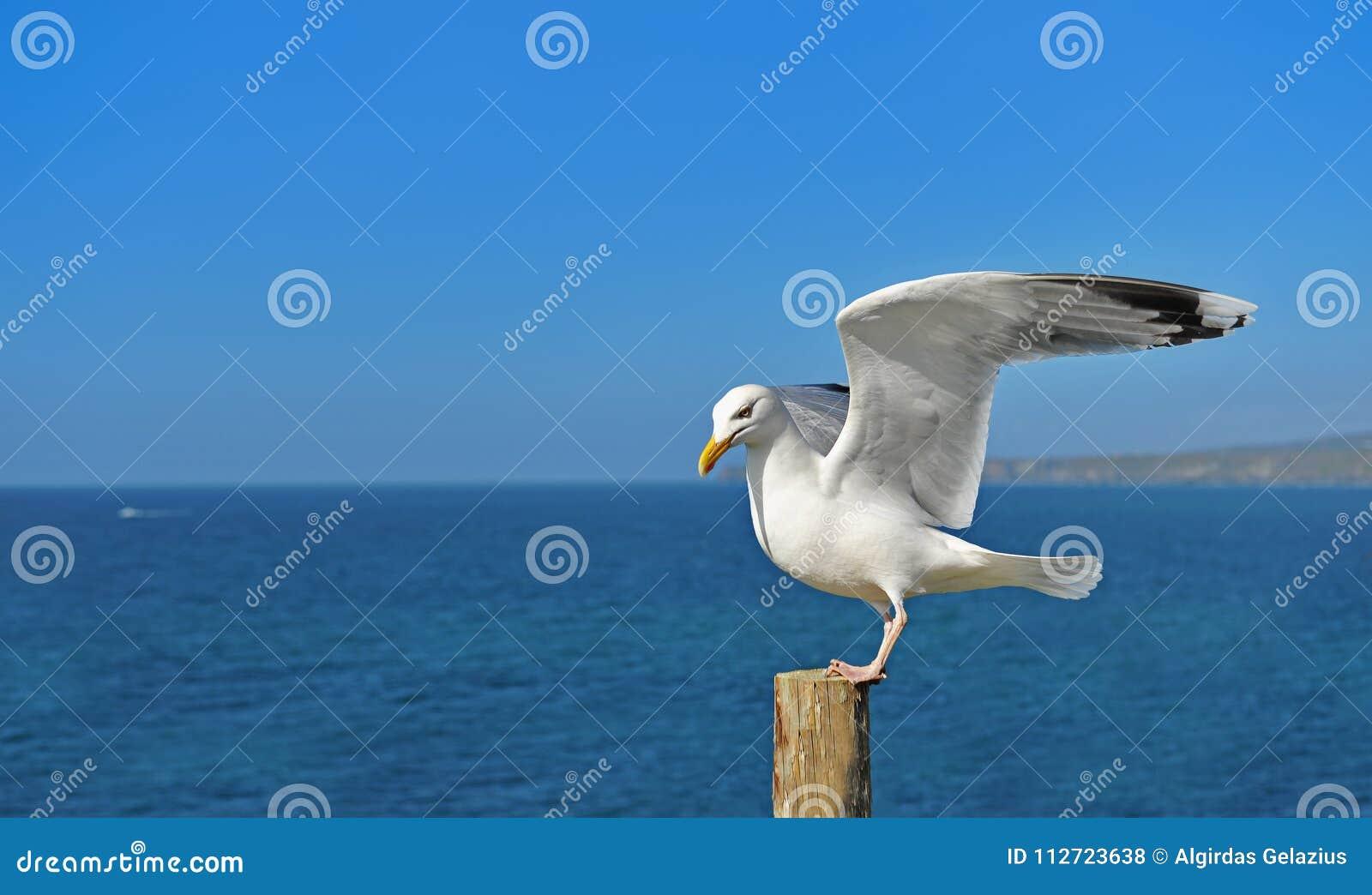 European herring gull perch on the log