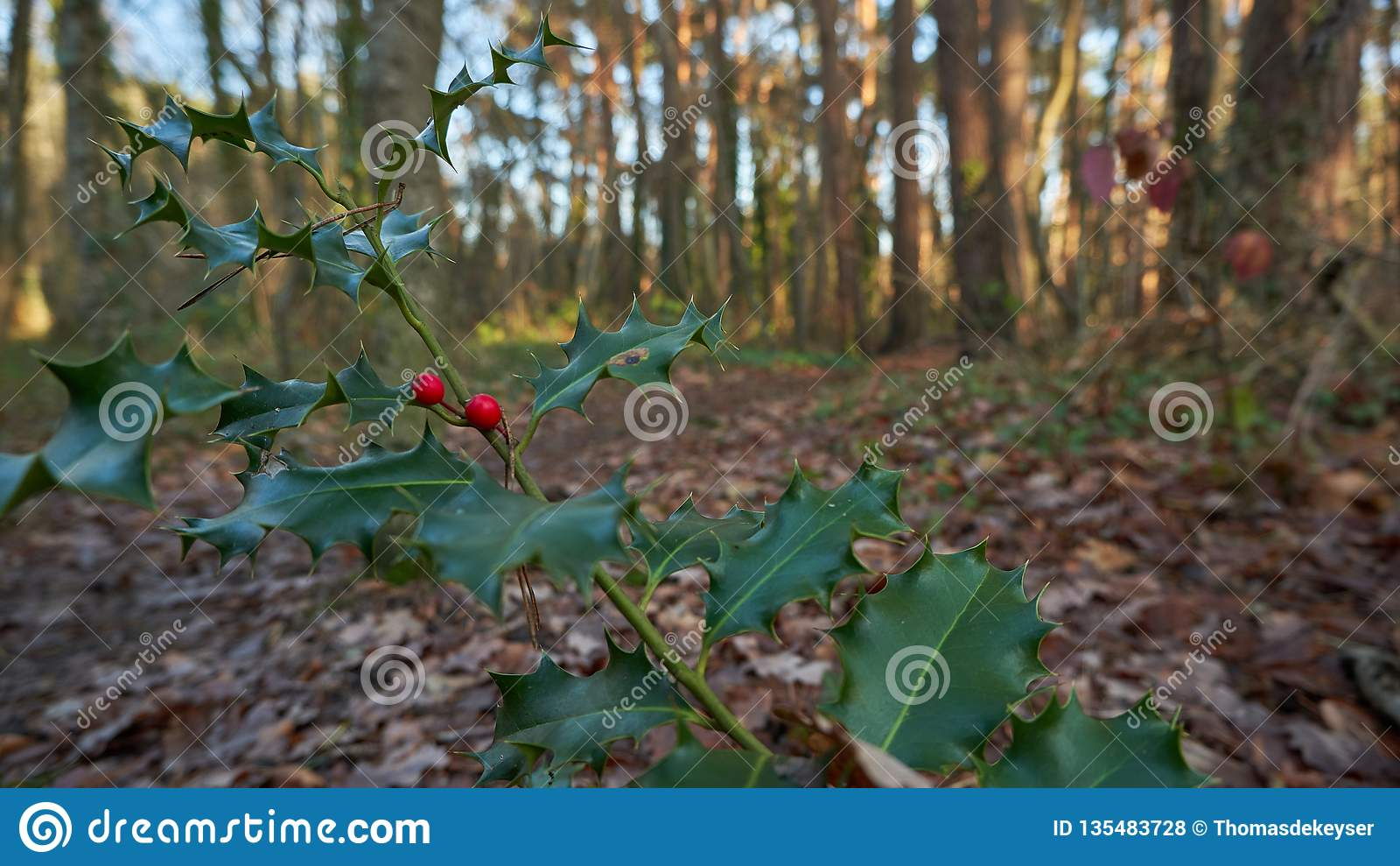 European holly in autumn