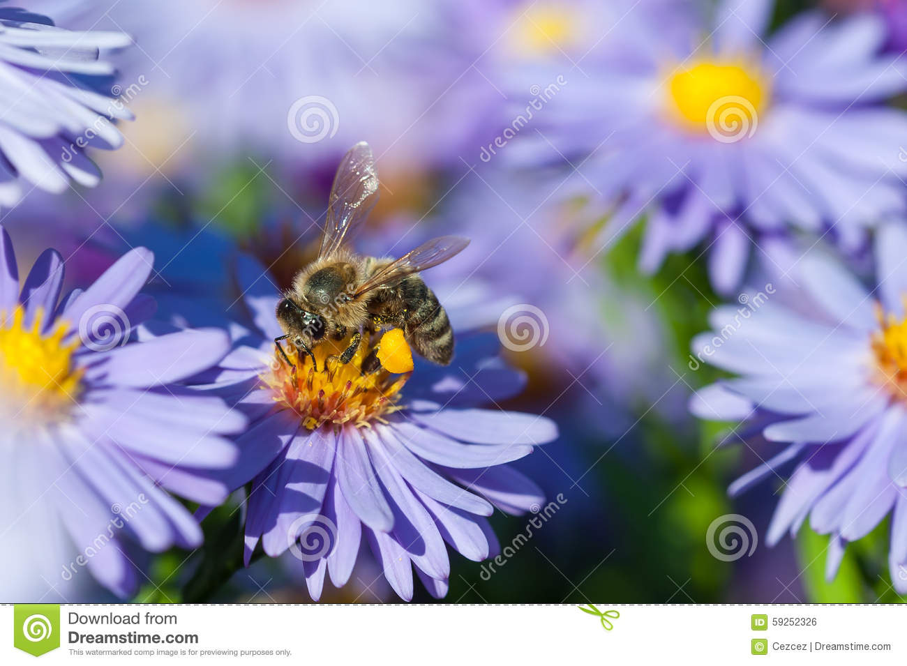 European honey bee on aster flower