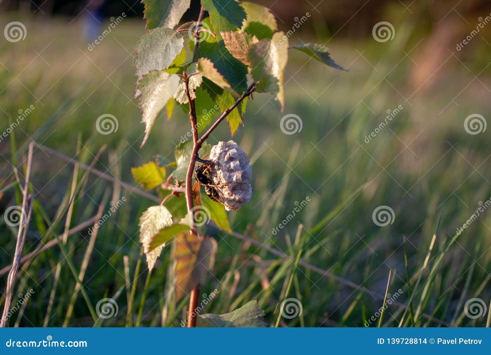 European hornet busy building a hornet`s nest