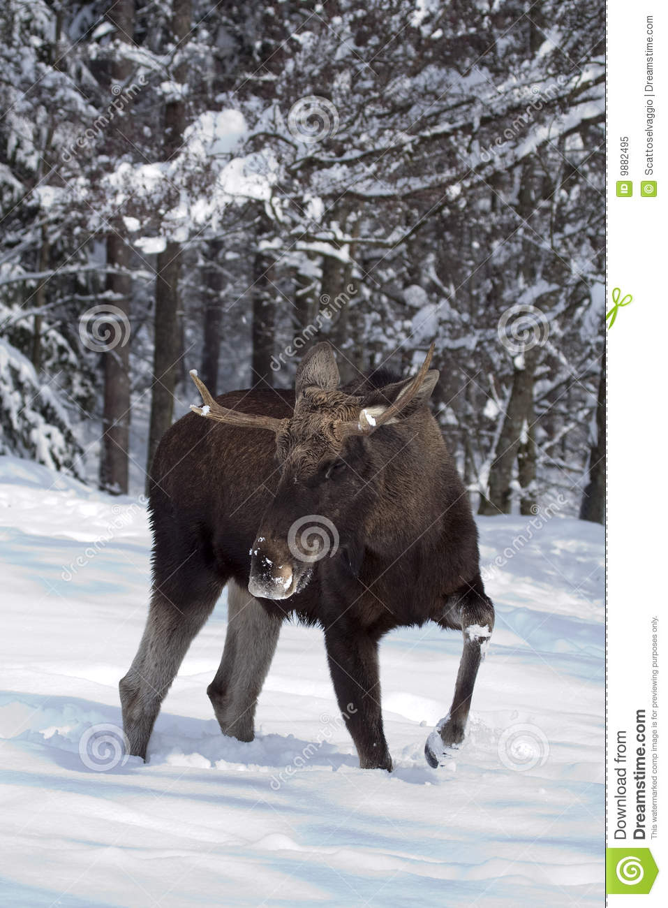 European moose (elk) in the snow