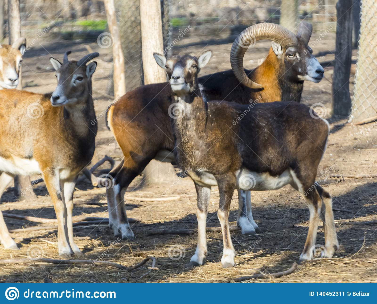 European mouflon male