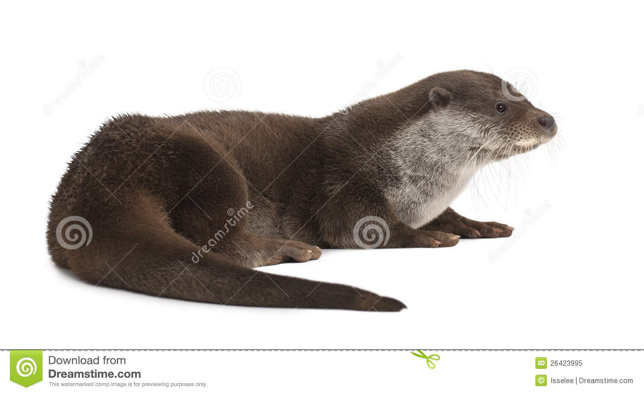 european otter lutra lutra stock photography