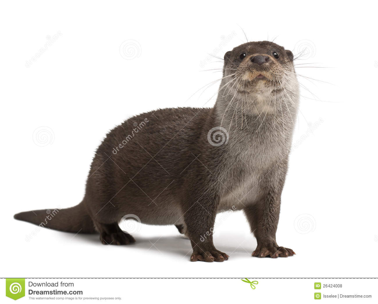 Download European Otter, Lutra Lutra, 6 Years Old Stock Photo - Image of camera, portrait: 26424008
