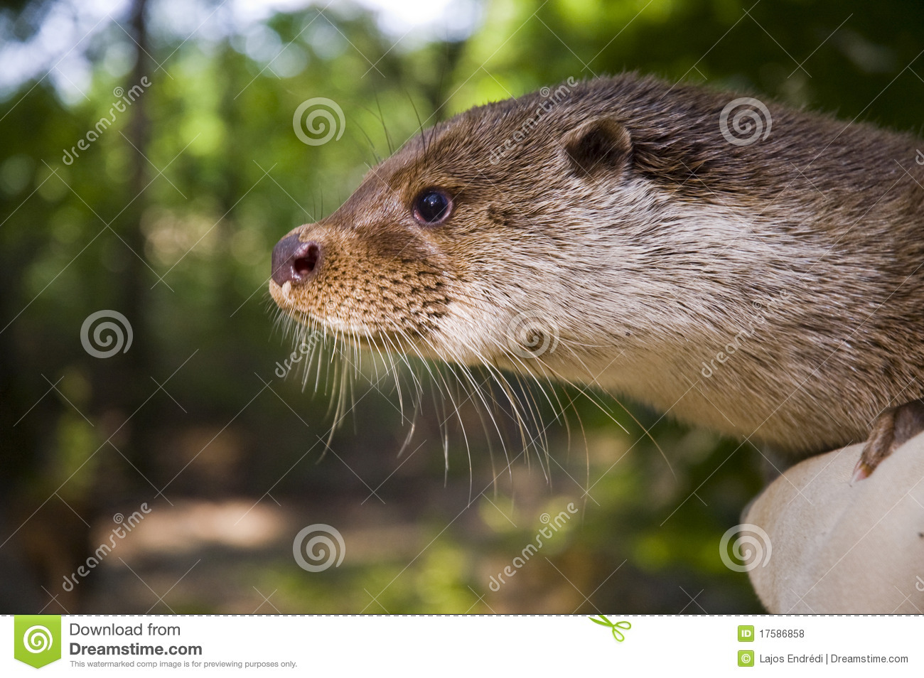 European otter (Lutra lutra lutra) in hand