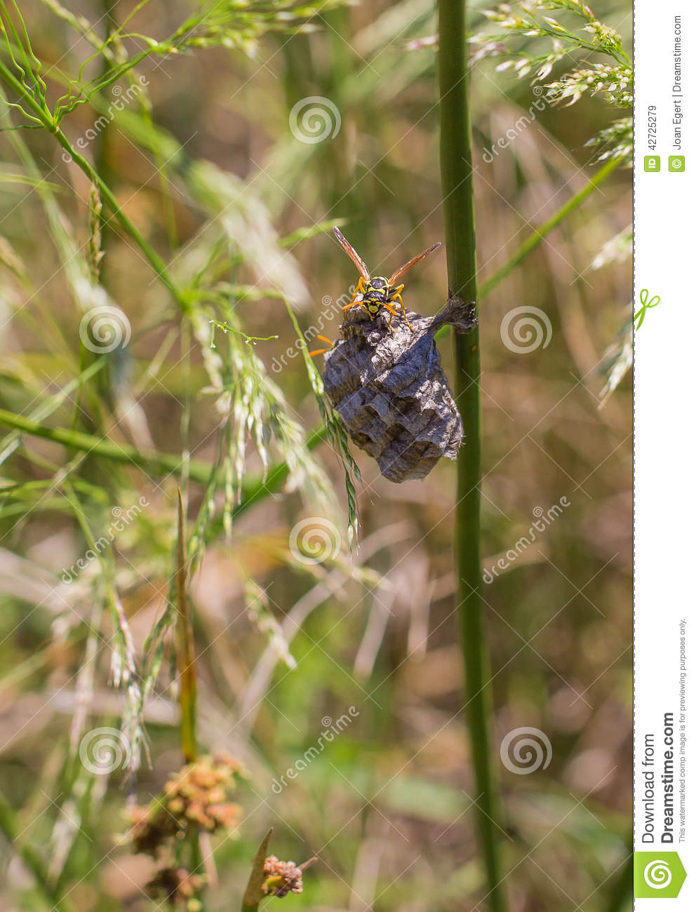 European Paper Wasp on its nest