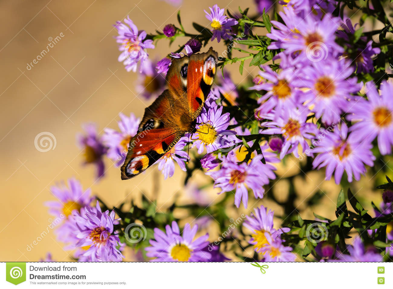 European peacock butterfly, inachis io, in purple wild flower meadow