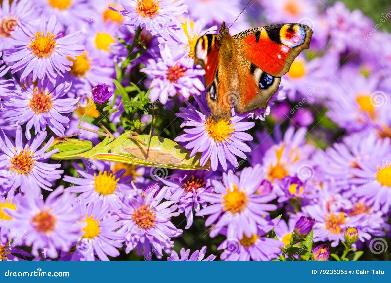 European peacock butterfly, inachis io, in purple wild flower meadow
