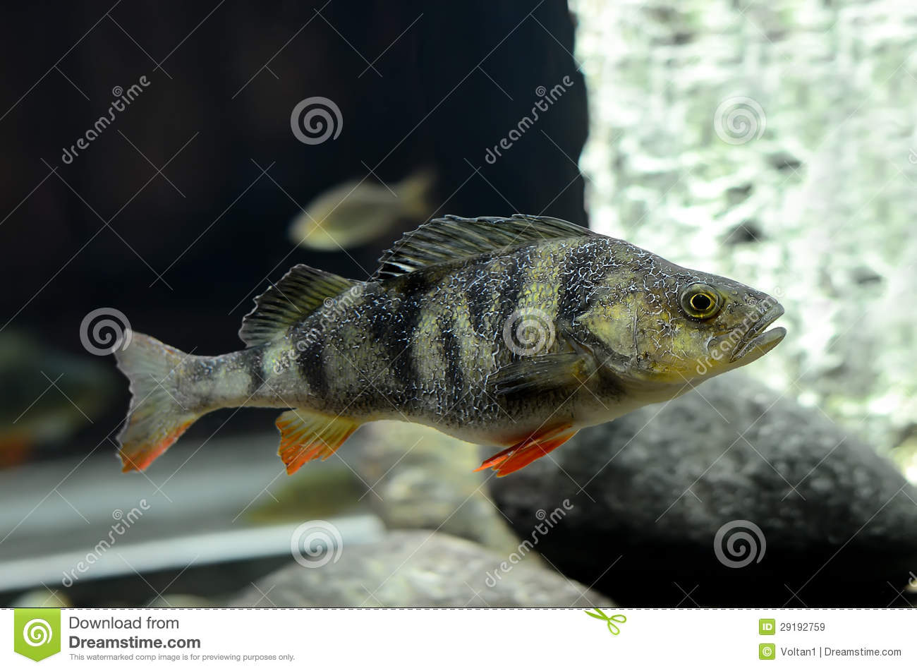 European Perch Fish Royalty Free Stock Images - Image: 29192759