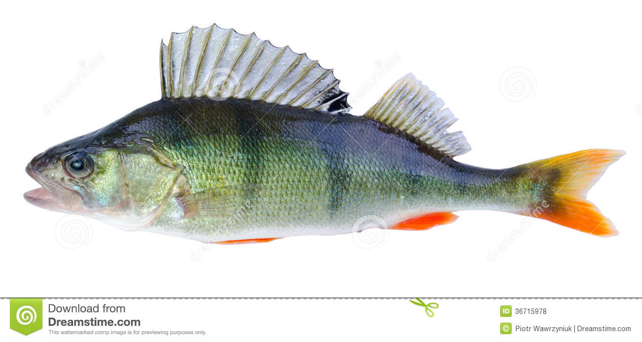 European perch fish royalty free stock photos image for Perch fish facts