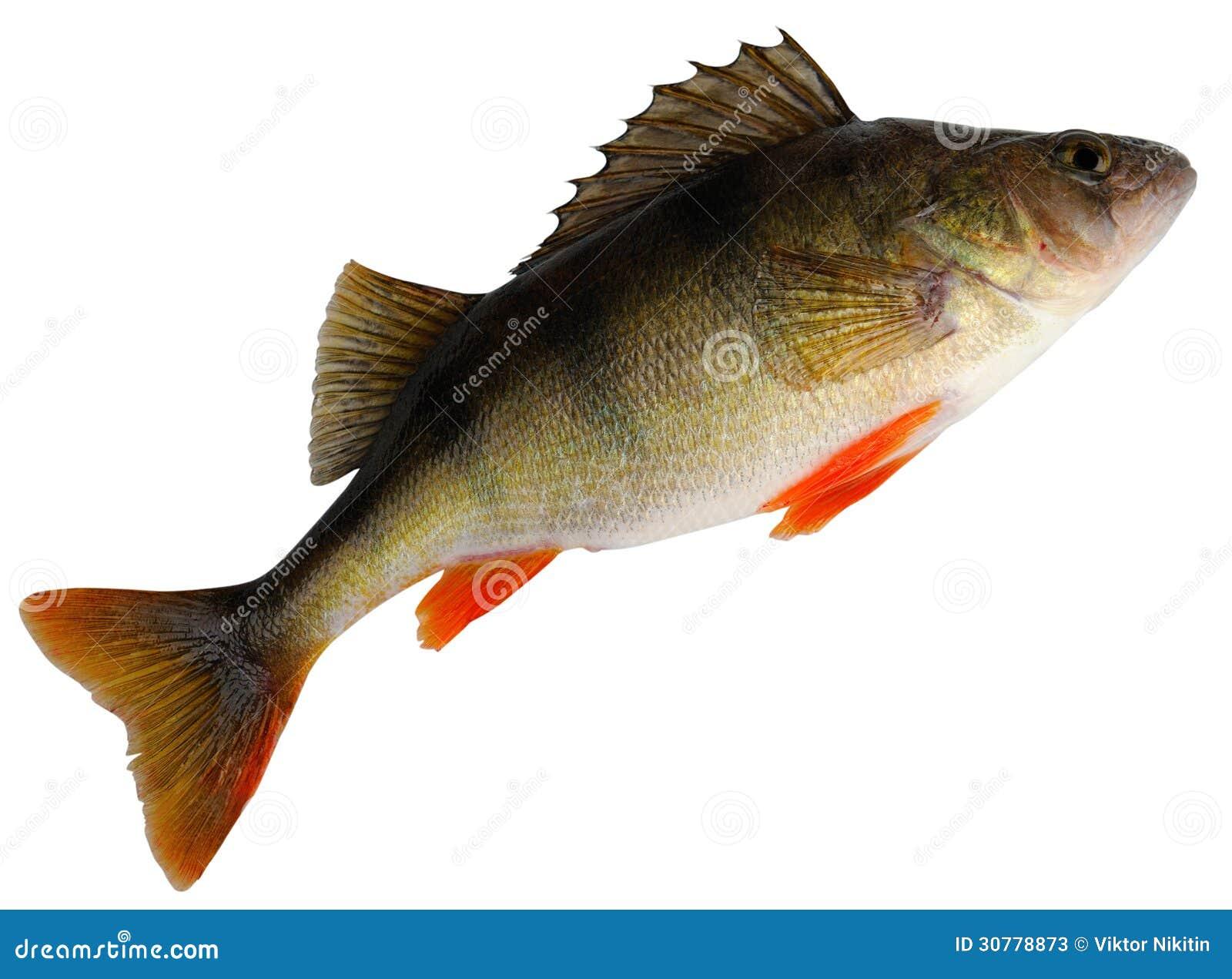 European perch ( Perca fluviatilis ). Female before spawning. Isolated ...