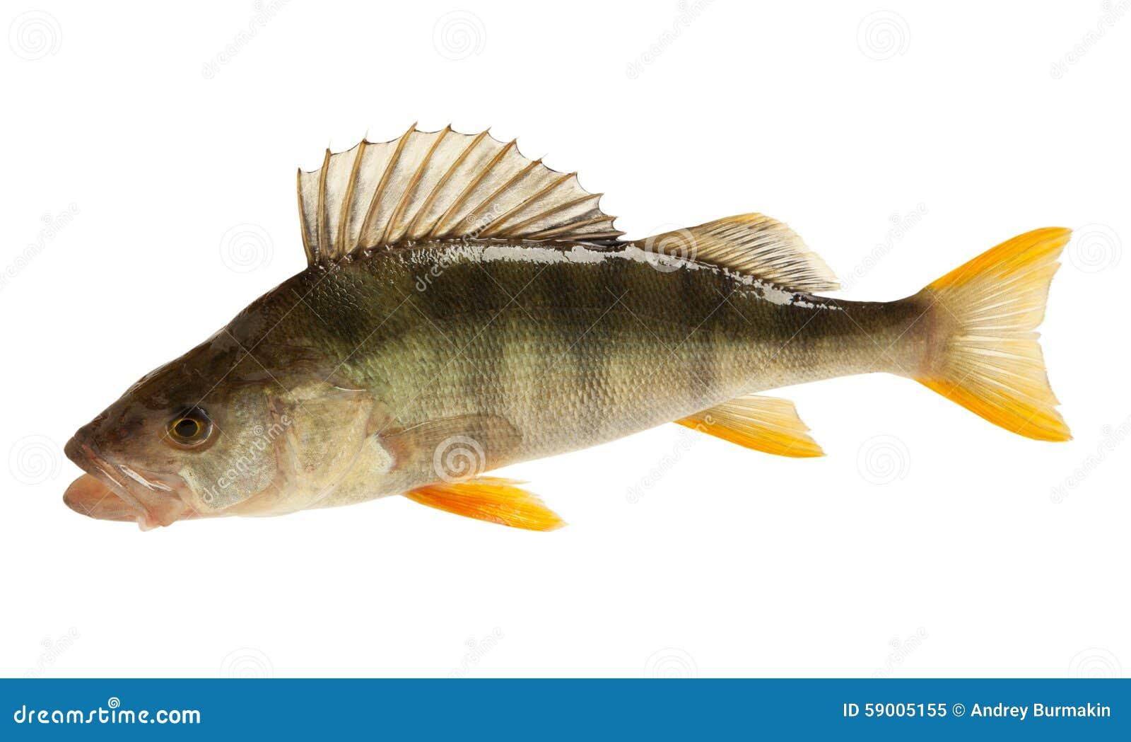European Perch Related Keywords & Suggestions - European Perch Long ...