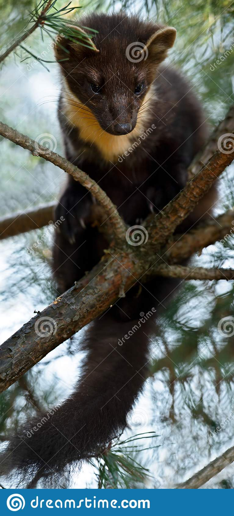 The European pine marten (Martes martes), known most commonly as the pine marten in Anglophone Europe, and less commonly also