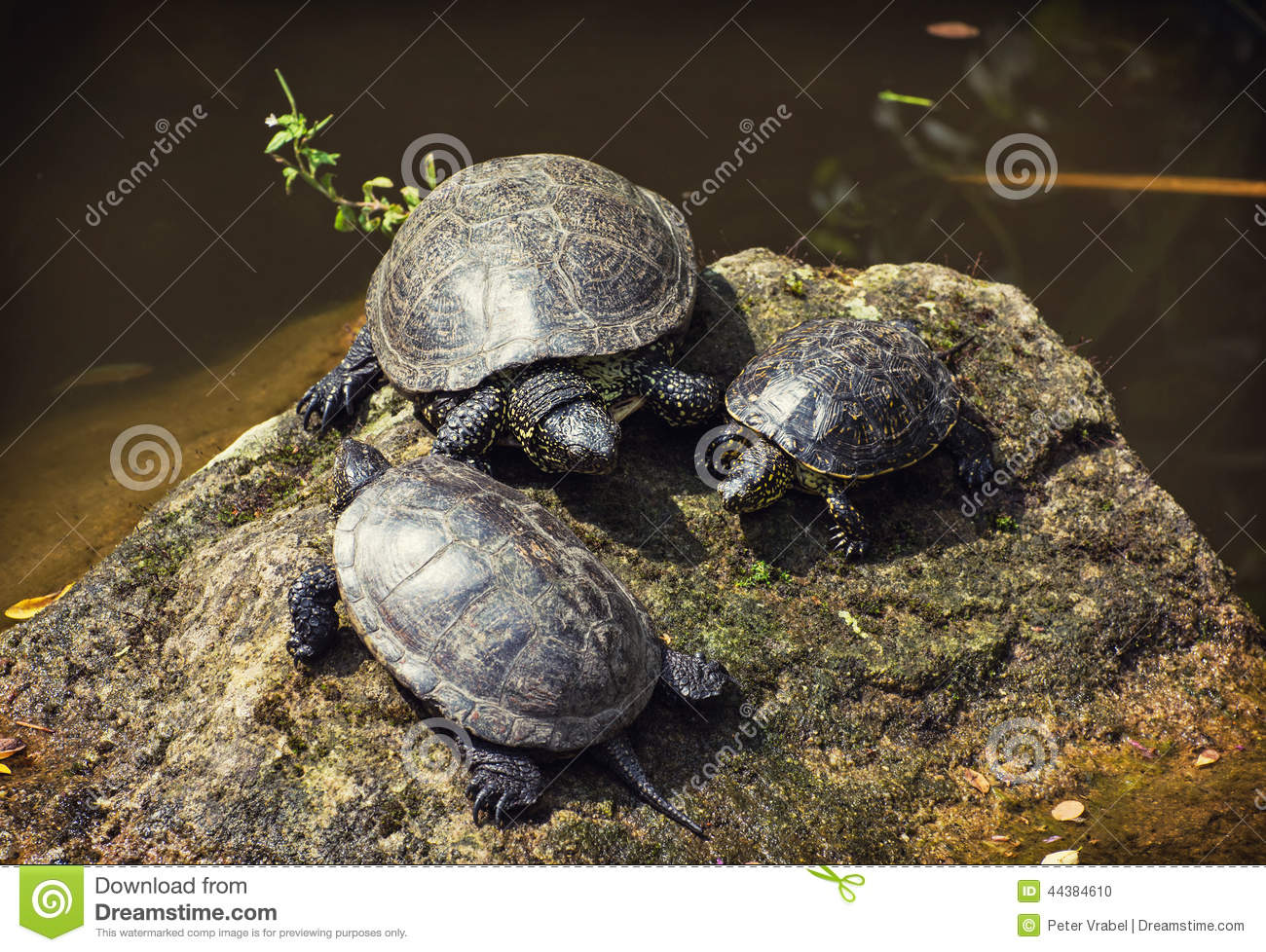 Basking Rocks For Turtles : ... , is a long-living freshwater species of turtle. Group of turtles