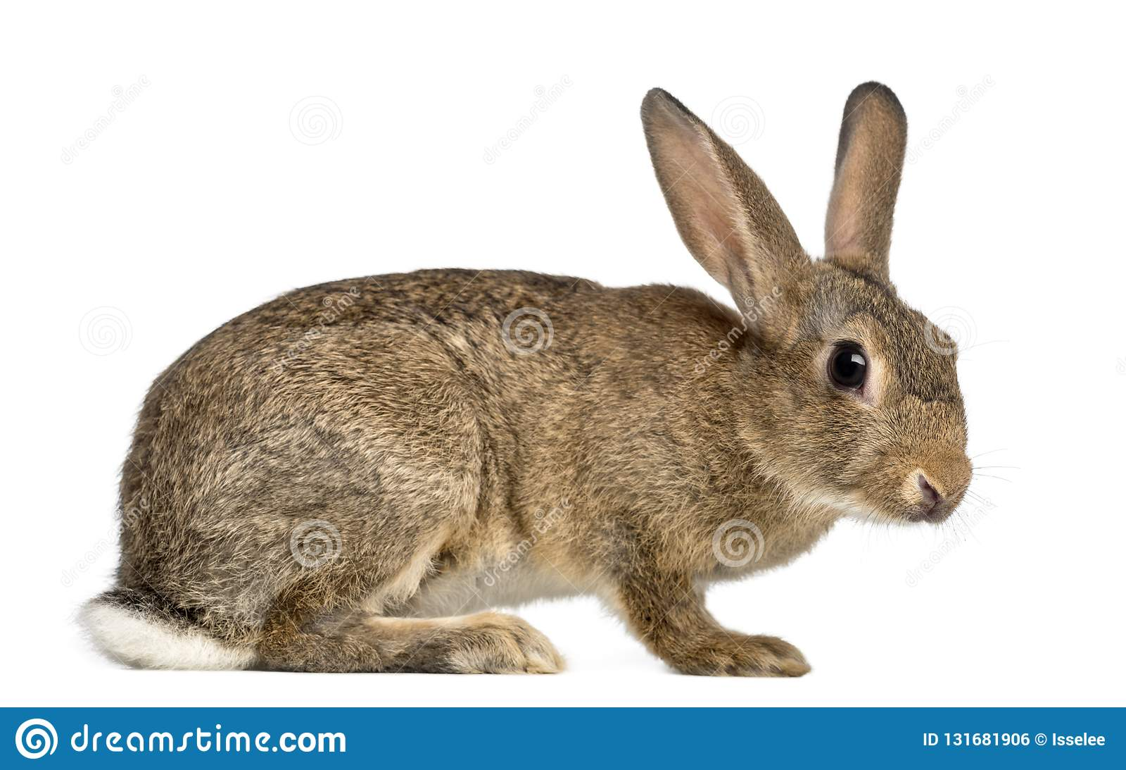 European rabbit or common rabbit, 3 months old