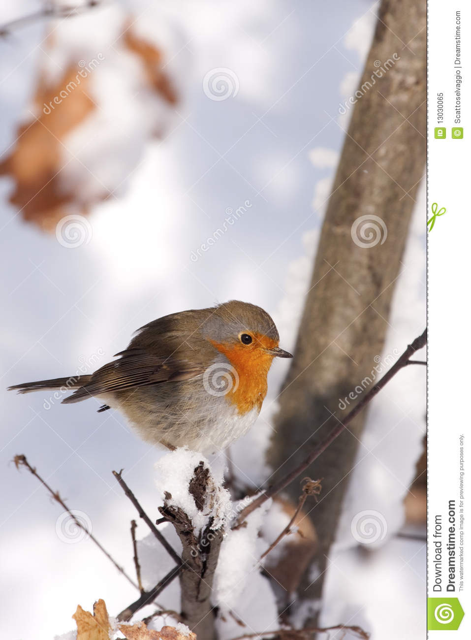 European Robin (Erithacus rubecula). An old British folk tale seeks to explain the Robin's distinctive breast. Legend has it that when Jesus was dying on the cross, the Robin, then simply brown in colour, flew to his side and sang into his ear in order to comfort him in his pain. The blood from his wounds stained the Robin's breast, and thereafter all Robins got the mark of Christ's blood upon them.
