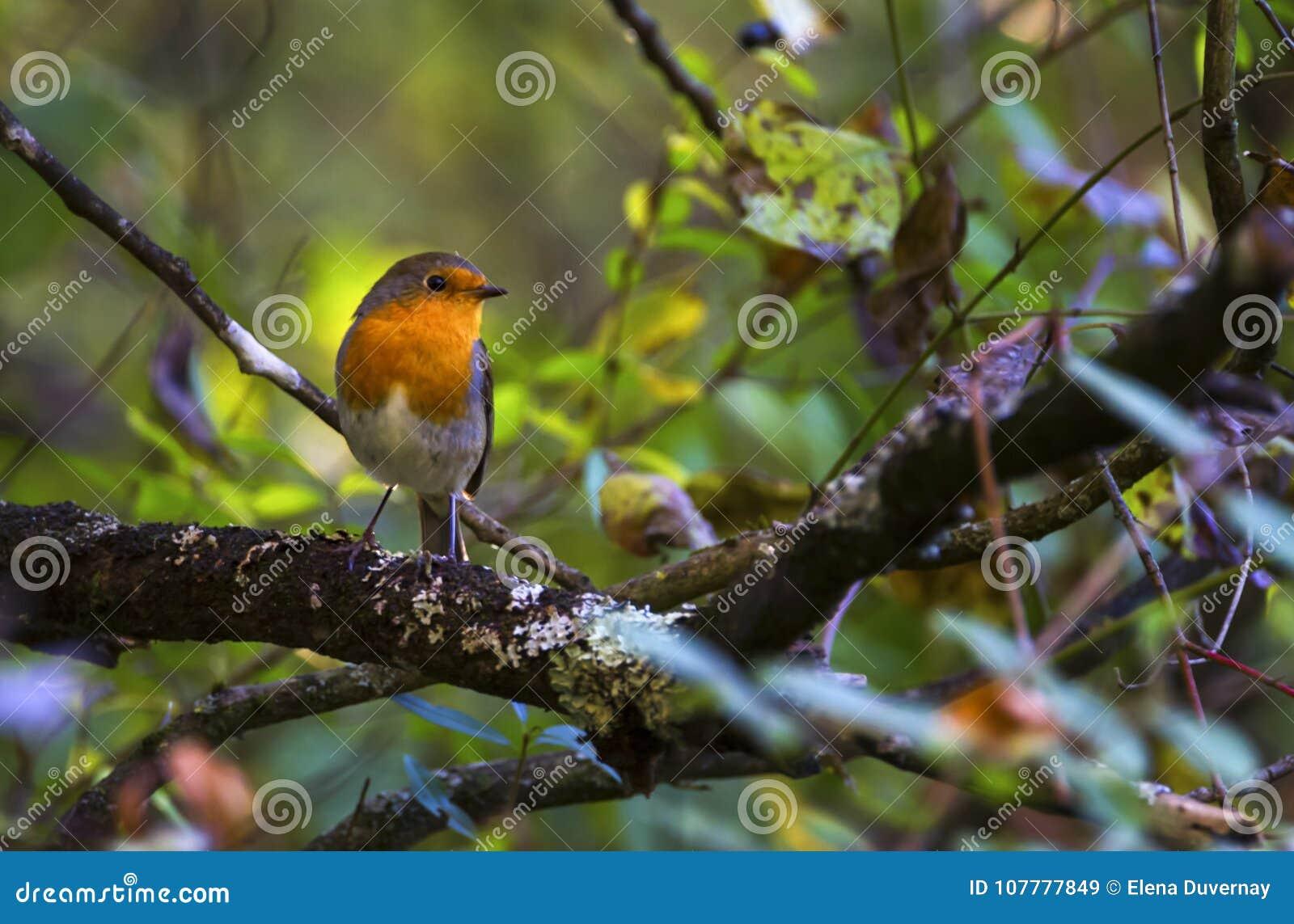 European robin, erithacus rubecula, redbreast, Geneva, Switzerland