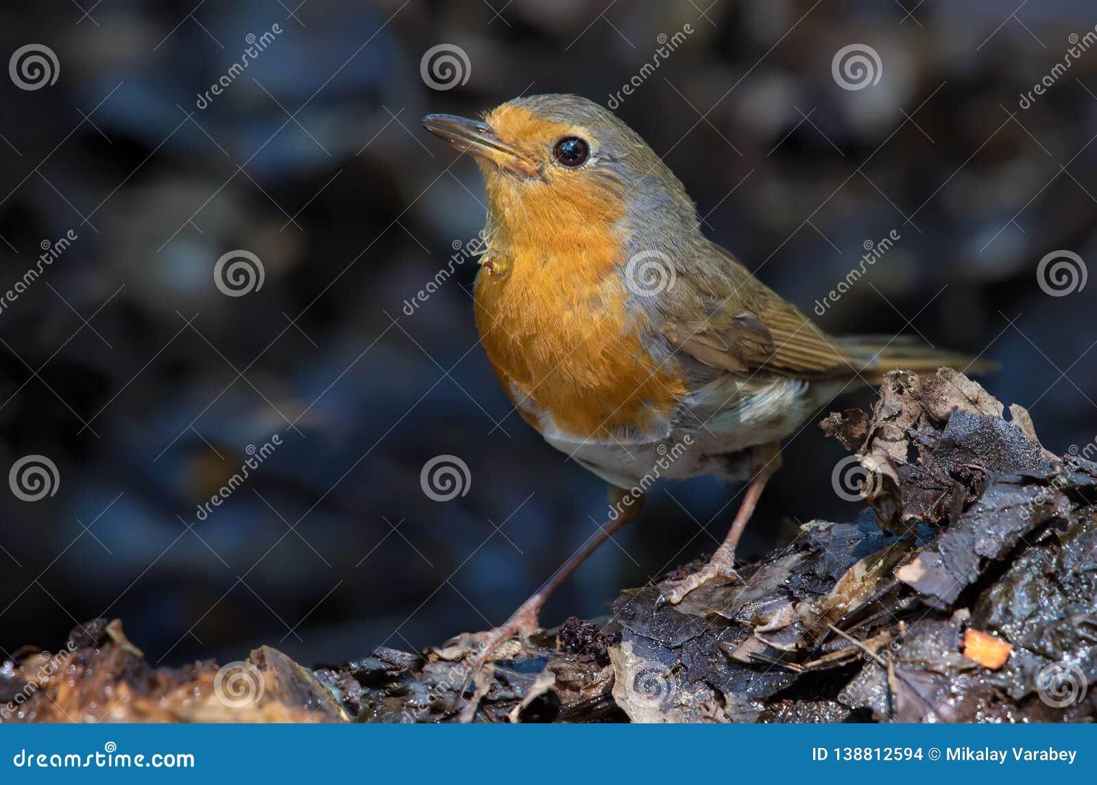 European Robin sits with spider under her beak