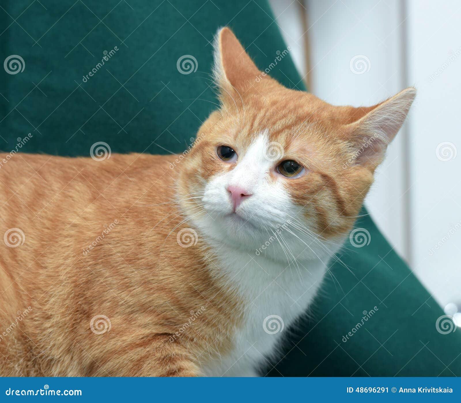 European Shorthair Cat Stock Image